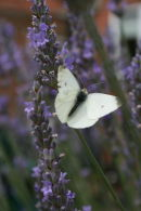 CABBAGE BUTTERFLY IN FRONT OF FLOWERS