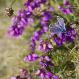 Common Blue at L'eperquerie
