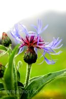 Alpine Cornflower