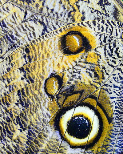 Avocet Images: Owl Butterfly Wing Pattern (London Zoo)
