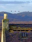 31  ruin in Balallan, used for nesting by Starlings
