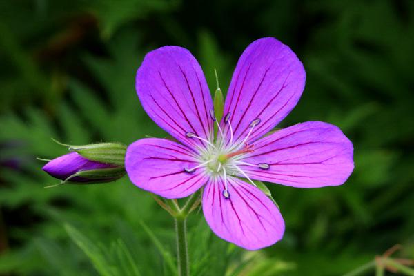 Michel bury photographie de nature photography fleur mauve et bourgeon - Initiatives fleurs et nature ...