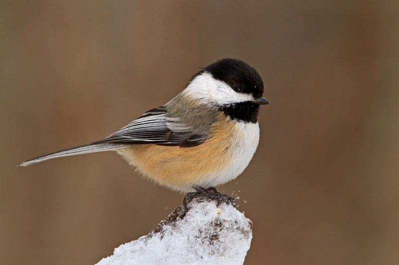 Michel bury photographie de nature photography m sange for Oiseaux des jardins en hiver
