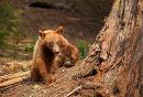 Black Bear Cub, California