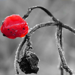 Frosty Berries 2
