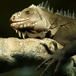 Lesser Antilles Iguana 1