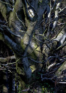 Trunks and branches, Dorset