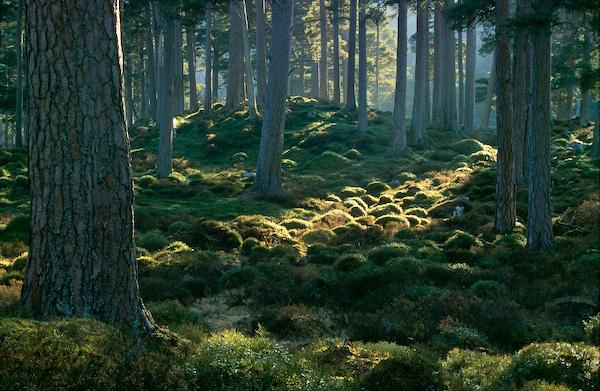 Ballochbuie Forest - Balmoral Estate