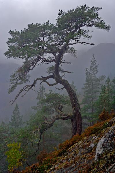 Caledonian Pine - Glen Affric