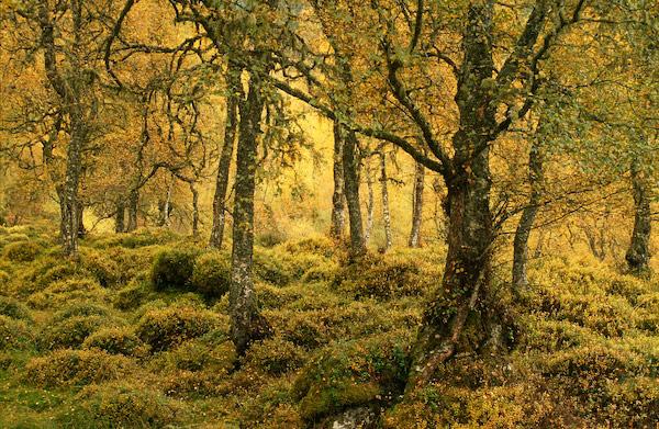 Old Birch Wood - Glen Affric