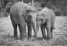 Elephants holding hands