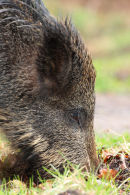 Wild Boar foraging close up