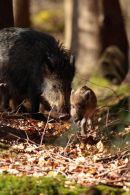 A sounder of Wild Boar move silently through a wood