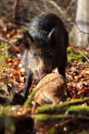 Wild Boar and piglet in the Forest of Dean