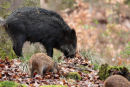 Wild Boar and piglets in the Forest of Dean