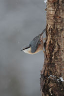 Nuthatch in the snow