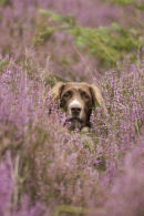 Springer spaniel in heather