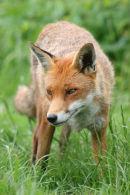 Fox (c)