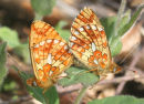 Pearl bordered fritillaries mating